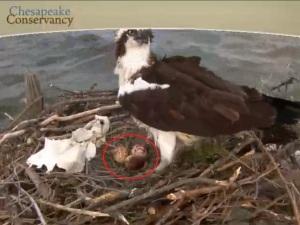 Audrey has now laid three eggs!