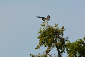 Here we go!  And look, a friend is already here (look carefully below the landing osprey)