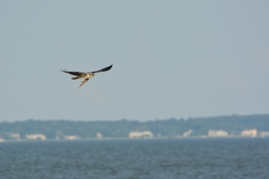 This menhaden is trying to get away!