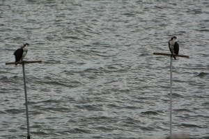 One wet osprey (with no fish) on the left.  The one on the right decided to wait for parental donations.