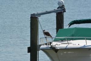 On Crazy Osprey Man's boat