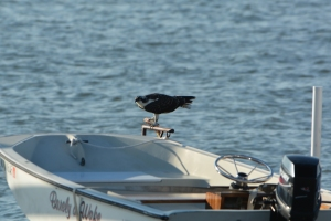 Osprey Girl's boat which was used during Ozzie's rescue has multi-purpose functions (dinner perch)