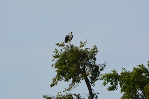 A closer view of the osprey in the previous photograph