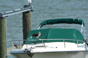 The obvious reason boat owners do not appreciate ospreys hanging out on their boats