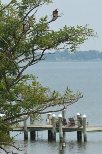 Osprey in tree, osprey on piling