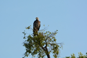 Juvenile bald eagle in the big tree two houses to the north of us