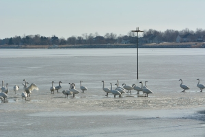 Our winter tundra swans on the offending ice.  The pole is bending away from the camera, so you can't see the tilt.  COM feeds the tundra swans from November until they leave in March.