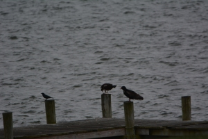 Tom, a hungry crow and a hopeful turkey buzzard on the dock just south of us.