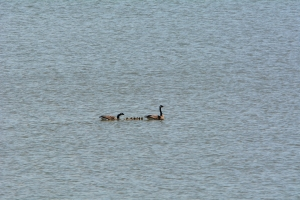 The Goose Family happily swimming by.  They did not realize that danger was lurking near by