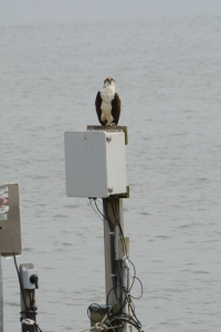 One of Tom's favorite hang-outs.  He will frequently eat his fish from this electric box at the end of our dock