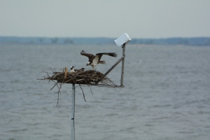 Tom arriving at the nest.  Audrey is wondering why he is there without a fish