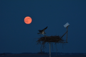 Flapping under the Super Moon