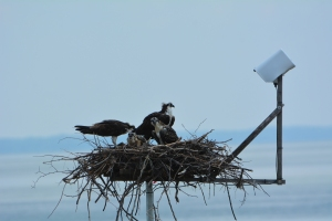 The Osprey Family-everyone is in the nest and someone is getting fed