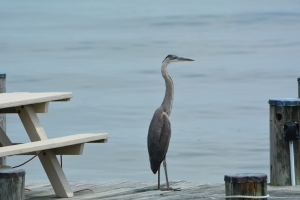 A recent visitor to the end of our dock-is it time for happy hour?