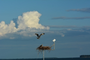 Arriving back to the nest under a spectacular summer sky