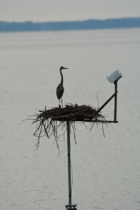 A Great Blue Heron admiring the view
