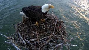 A beautiful bald eagle using the nest