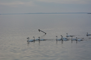 After the ice melted, the pole popped back up.  It looked very sad all bent over with no platform.  Our tundra swans were happy to be able to get to the dock for their corn.