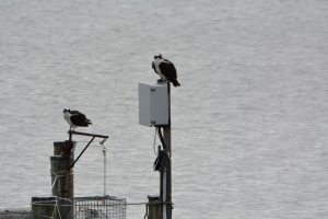 Audrey and the dark stranger during better days when osprey life seemed status quo