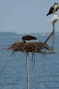 Audrey feeding the chicks while Tom surveys his kingdom