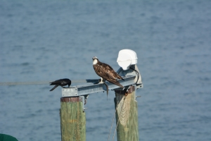 """Tom on our boat lift with a hopeful crow.  """"Surely there is enough there for me"""" thought the crow."""