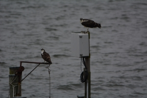 Montana and E.T. hanging out on the electric box and former floating dock ramp lift
