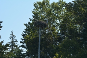 Hog Island nest-it is really high up!