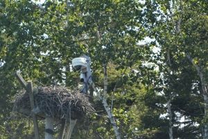 Hog Island nest