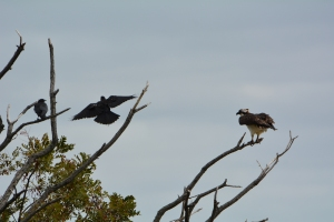 A lonely osprey being pestered by some crows.