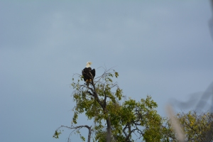 We hate to see our ospreys leave, but it is good to welcome our national bird