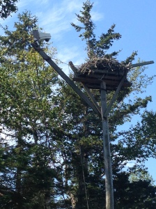 The Hog Island nest looking from the ground up.