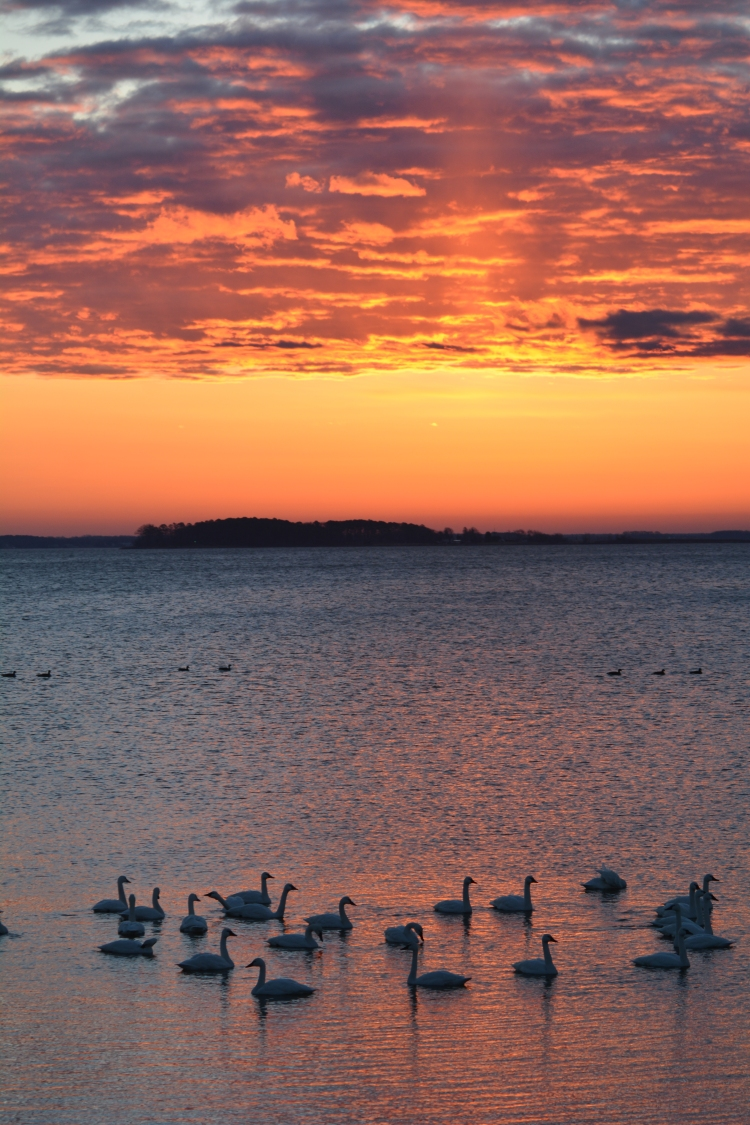 Winter sunrise with swans